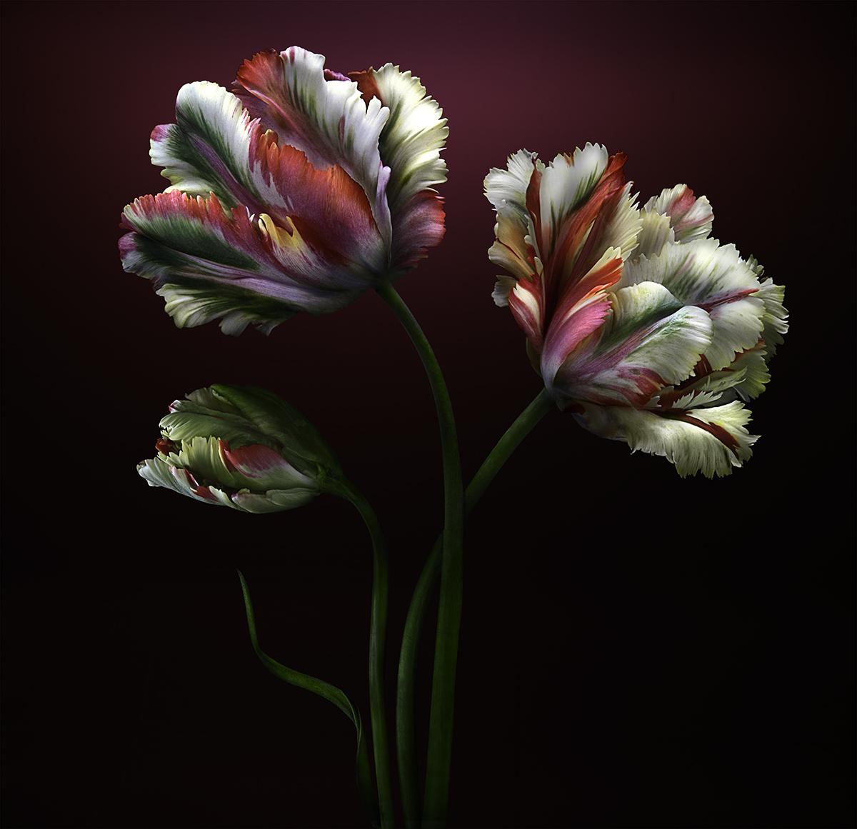 Parrot Tulips Maste 48x46r* Edit