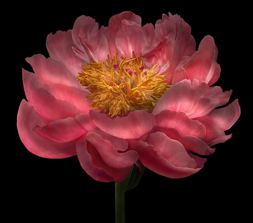 lumiscent-pink-peony