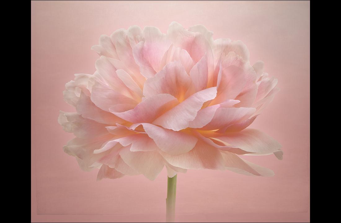 pastel_pink_peony
