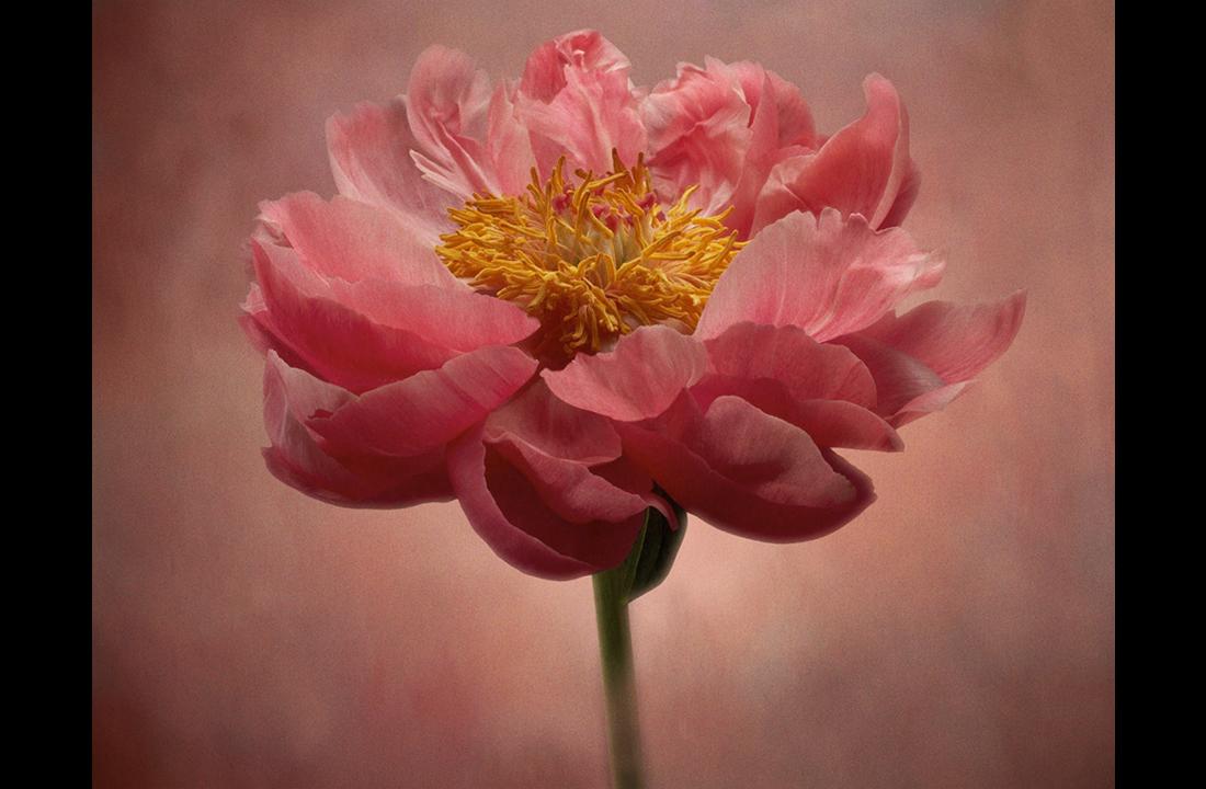 pink_peony_study_iii